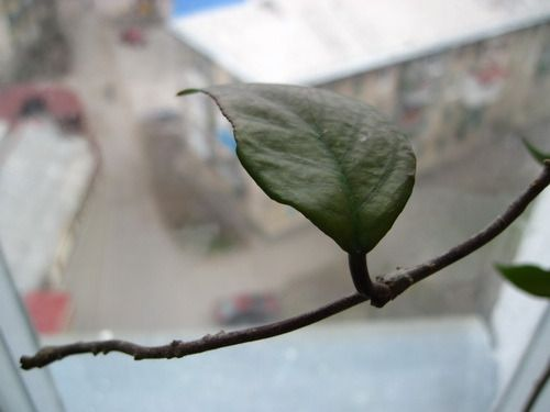 Підкажіть будь ласка, як називається це домашнє рослина?