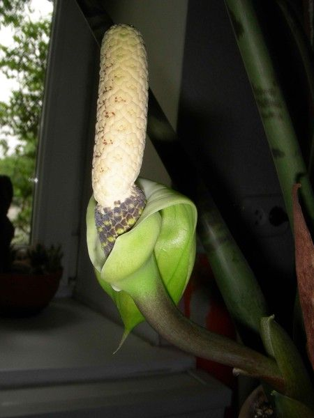Чи варто спробувати виростити рододендрон в товариський області? Вимерзне?