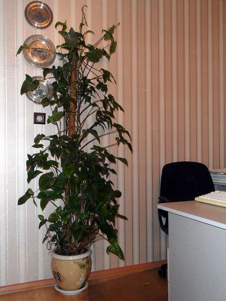 Я посадила гіппеаструм 2 тижні тому з зеленими стеблами