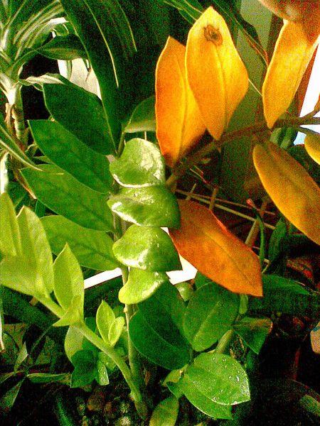 Як виростити ананас в домашніх умовах? Хто-небудь виростив?