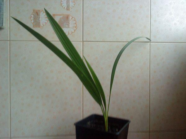 Чи можна кісточки слак фініка виростити пальму в домашніх умовах? Як?