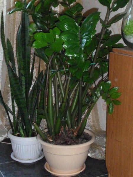 Цвіте чи баухинія, пасифлора в домашніх умовах