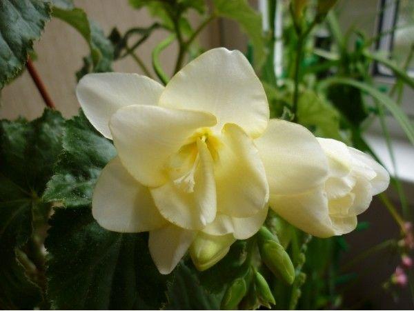 Лілії з про стеблом 8-10 см., якщо посадити зараз, вони не загинуть взимку і будуть життєздатні в сл