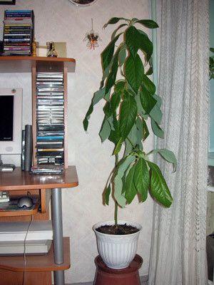 Хто-небудь вирощував вдома авокадо?