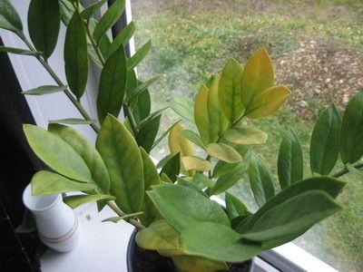 Хотіла виростити насіння глоксинії, але нічого не сходить