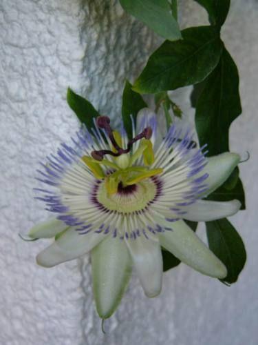 У мене цвіте еухарис, це так красиво, сім бутонов.а у вас є така квітка?