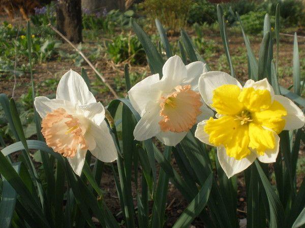 Як ростити квітка каллу в домашньому умови?