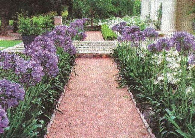 Агапантус - вічнозелена рослина, агротехніка, умови зростання