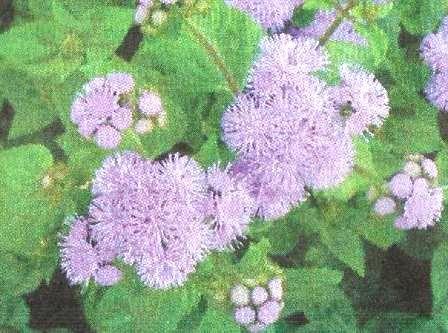 Агератум - квіти родини айстрових, особливості їх зростання і агротехніка