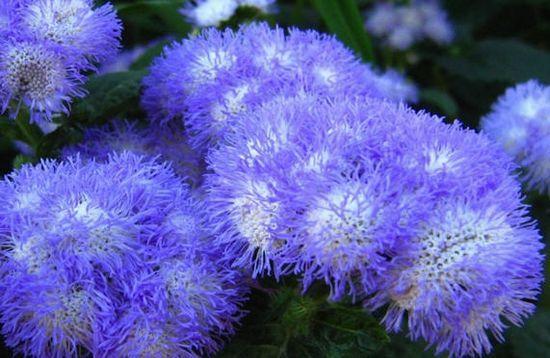 Агератум: вирощування