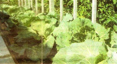 Агротехніка капусти в другій половині літа і восени