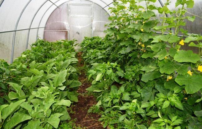 Аерований компостний чай, ефект при обробці рослин