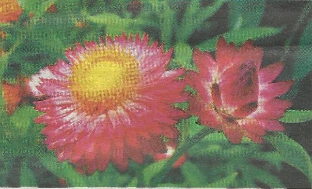 Акроклінум рожевий, (acroclinium roseum), рослина з роду геліптерумов, родом з австралії, з невеликими ніжними суцвіттями-кошиками - білими, рожевими, червоними, золотисто-жовтими, нагадують дрібні ромашки