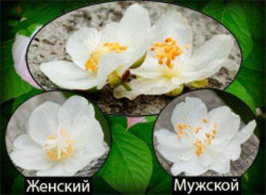 Актинідія, ківі для середньої смуги росії і для сибіру,   особливості культури, агротехніка