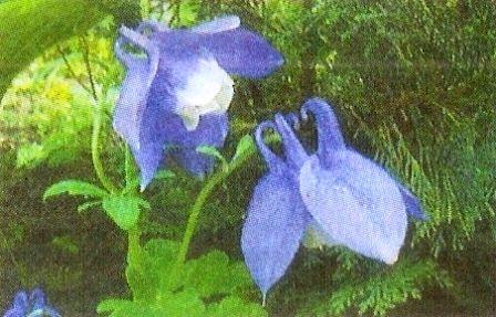 Аквілегія - квіти для саду, догляд за аквілегіі
