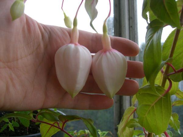 Традесканція андерсон (tradescantia x andersoniana) будинку добре росте?