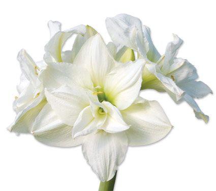 Амариліс - прекрасну домашню рослину з південної америки