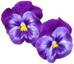 flower_viola1