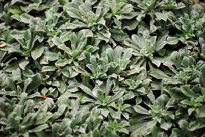Антеннарія - скромний цветик піщаних косогорів, вічнозелене почвопокровноє квітуча рослина