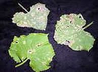 Фото уражених листя