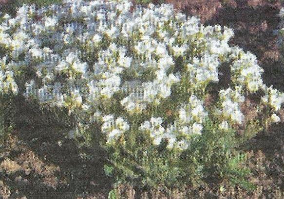 Арабіс альпійський і його використання в декоративному оформленні саду