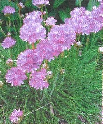 Армерия в дизайні саду, агротехніка, розмноження