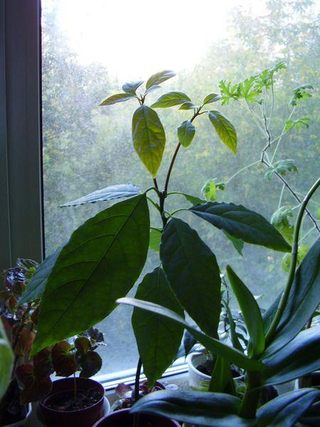 Хто-небудь вирощує вдома авокадо? Які тонкощі в догляді? Що любить рослина? Де варто?