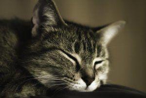 «Бабка надвоє сказала»! Народні засоби від бліх у кішок: як вивести в домашніх умовах дегтярний милом і іншими