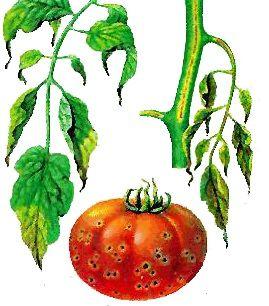 Бактеріальні хвороби помідорів