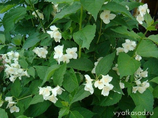 Хто вирощував вдома гарденії? Вибаглива рослина? Як краще доглядати?