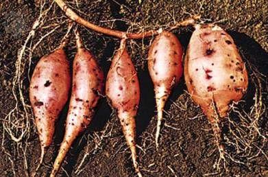 Батат, або солодка картопля, агротехніка, страви з батату