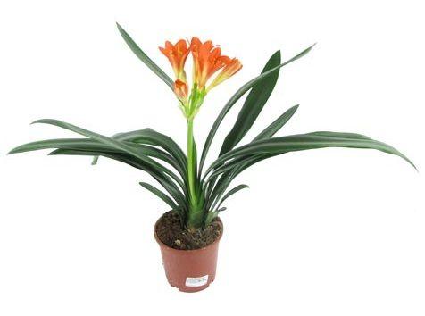 Кливия: красиве і невибаглива рослина, яке може прикрасити ваш будинок!