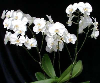 Біла орхідея фаленопсис: опис і догляд в домашніх умовах
