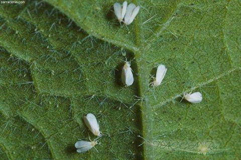 Білокрилка: хімічні, механічні, біологічні методи боротьби в теплиці і на кімнатних рослинах