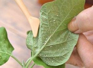 Білокрилка на кімнатних рослинах: як боротися зі шкідником, в тому числі на квітах фуксії