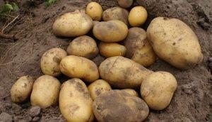 Картопля сорту Уладар: опис і характеристики