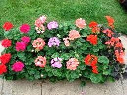 Герань садові