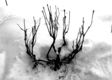 Бесштамбовиє формування винограду в північних районах, особливий тип форміровкі винограду