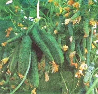 Біологічні причини явища фасціації у рослин