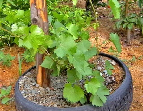 Біотехнологія землеробства природного типу при вирощуванні винограду в суворих кліматичних умовах