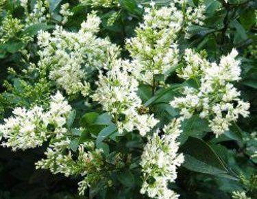 Бирючина звичайна в культурі саду, агротехніка, розмноження, саджанці
