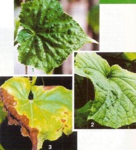 Хвороби і шкідники огірка, ознаки захворювань, заходи боротьби з хворобами та шкідниками