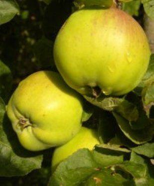 Хвороби яблук при зберіганні, їх профілактика
