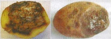 Хвороби картоплі і його лікування і профілактика хвороб