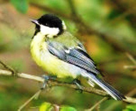 Велика синиця - корисний птах