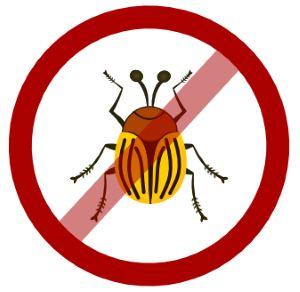 Боремося з колорадським жуком за допомогою оцту