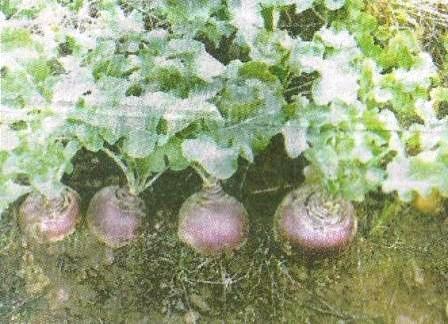 Бруква, поживна цінність, агротехніка, сорти