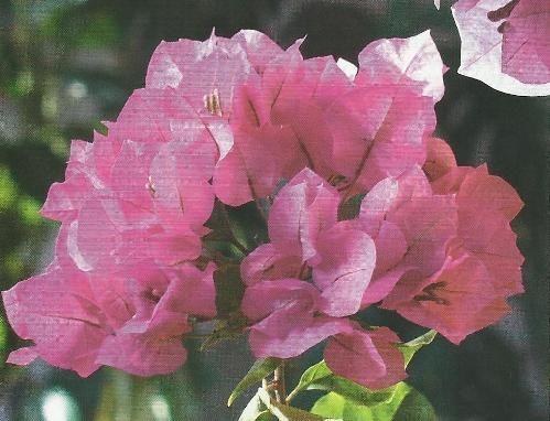 Бугенвіллея - лазающая квіткова декоративна ліана