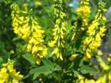 Цілюща рослина буркун