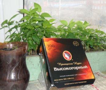 Чай: цілющі властивості, заварювання чаю